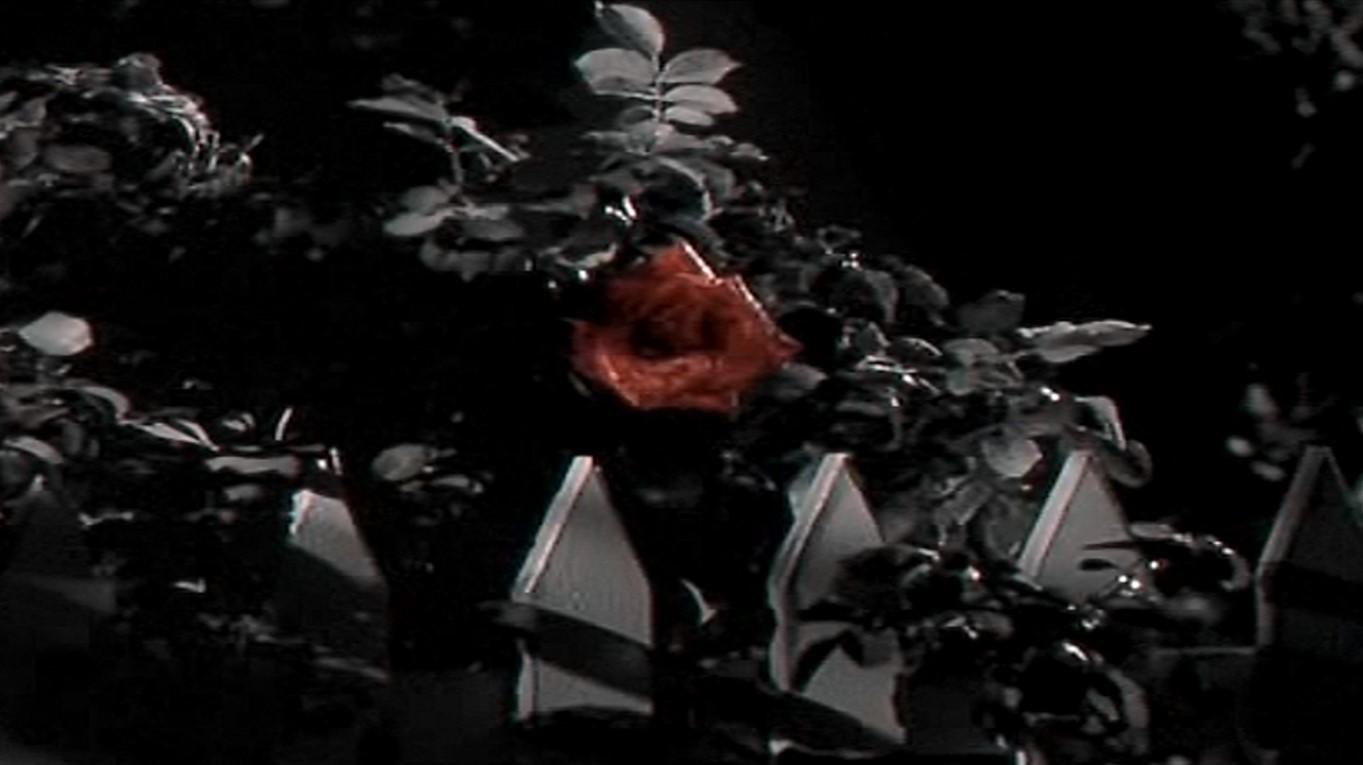 初体験の後、スキップの気持ちの変化によりカラーに変化した薔薇